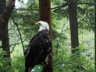 A hapless bald eagle at the Raptor Center. This was a wonderful place, and we ended up hanging around the birds for close to three hours.